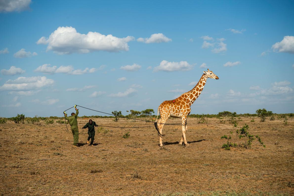30-best-17-giraffe-radio-collar.adapt.1190.1