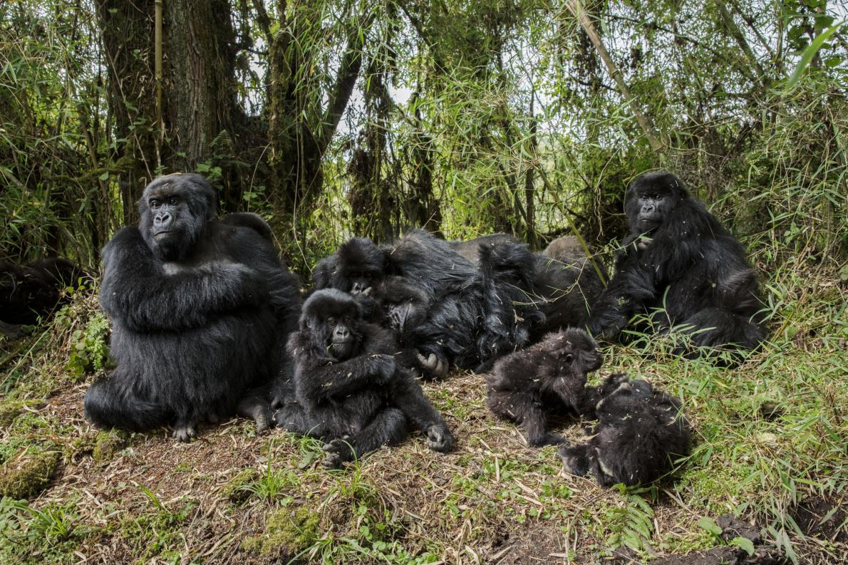 49-best-fossey-gorillas-not-exist.adapt.1190.1