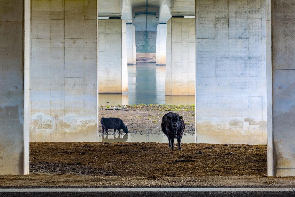 Галловейские коровы под мостом