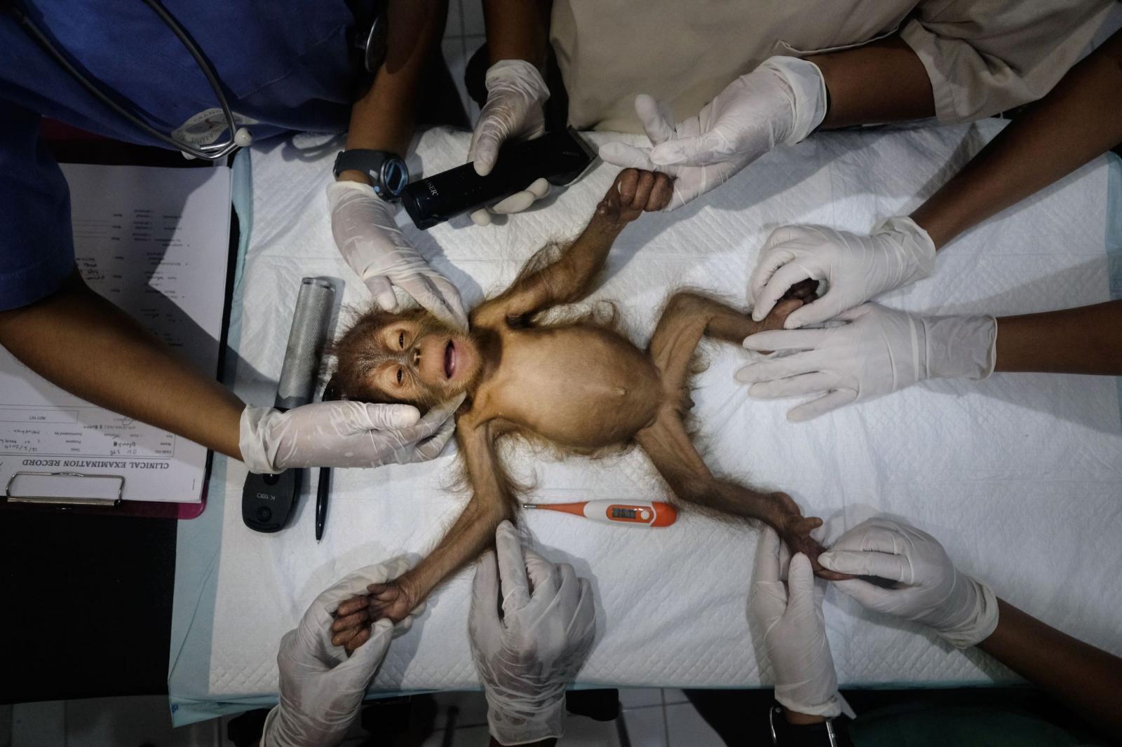 Спасение орангутангов